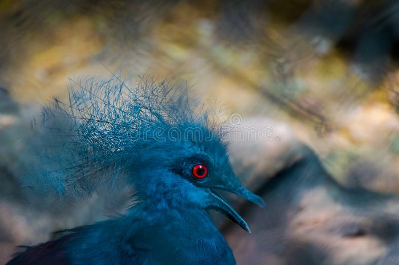 Bella Victoria Crowned Pigeon blu immagine stock