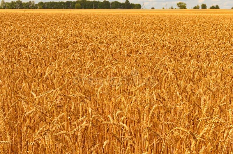 Bella vista del paesaggio del giacimento di grano dell'oro contro cielo blu Concetto agricolo immagine stock