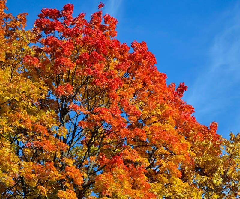 Bella vista di autunno Acero rosso, colori gialli e verdi delle foglie contro un cielo blu Giorno caldo di autunno fotografia stock libera da diritti
