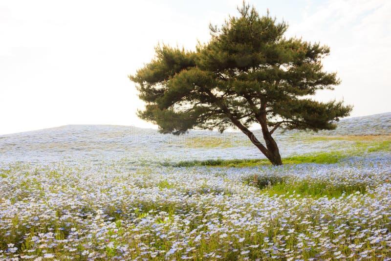 Bella vista di tramonto dei giacimenti di fiore degli occhi azzurri del bambino di nemophila al parco di spiaggia, Ibaraki, Giapp fotografie stock