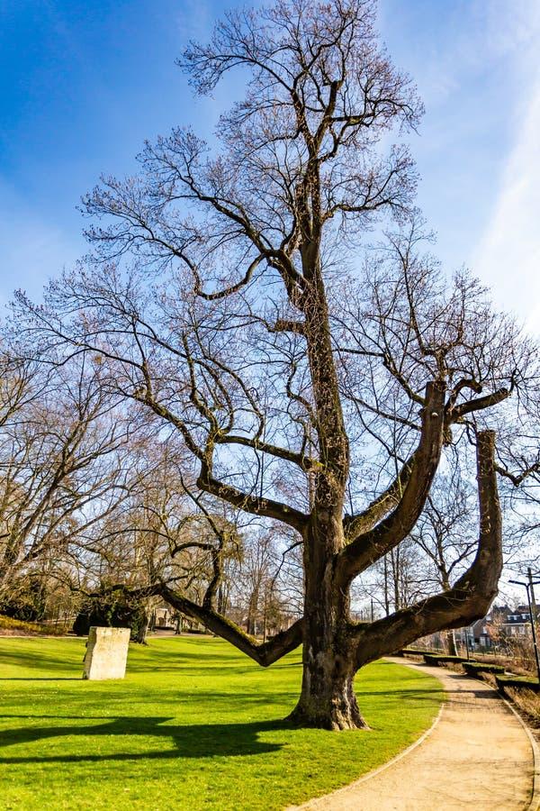 Bella vista di un albero sfrondato impressionante con erba verde accanto ad un percorso della sporcizia nel parco di Proosdij fotografia stock libera da diritti