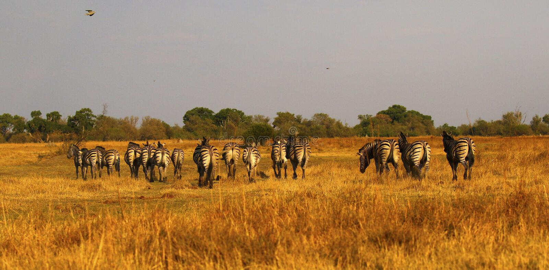 Bella zebra di Burchell e di Waterbucks sulle pianure africane immagini stock libere da diritti