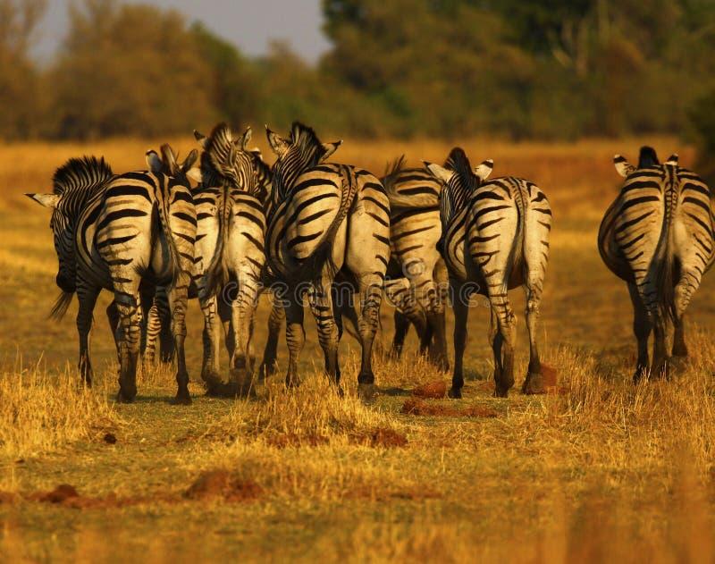 Bella zebra di Burchell e di Waterbucks sulle pianure africane fotografia stock libera da diritti