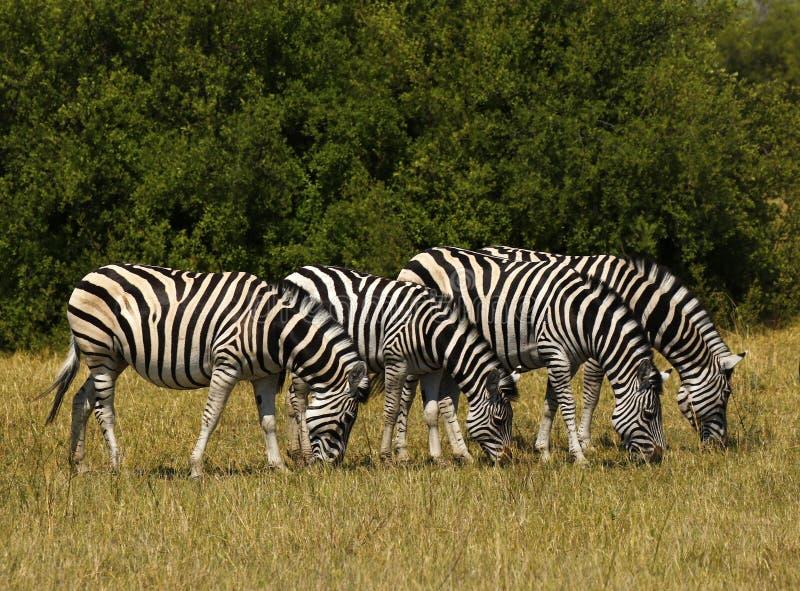 Bella zebra di Burchell e di Waterbucks sulle pianure africane immagini stock