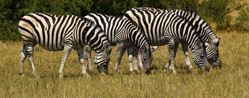 Bella zebra di Burchell e di Waterbucks sulle pianure africane fotografia stock