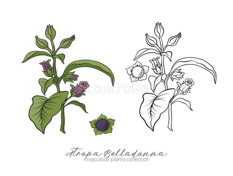 Belladonna plant set. Colored and outline set stock vector illus royalty free illustration