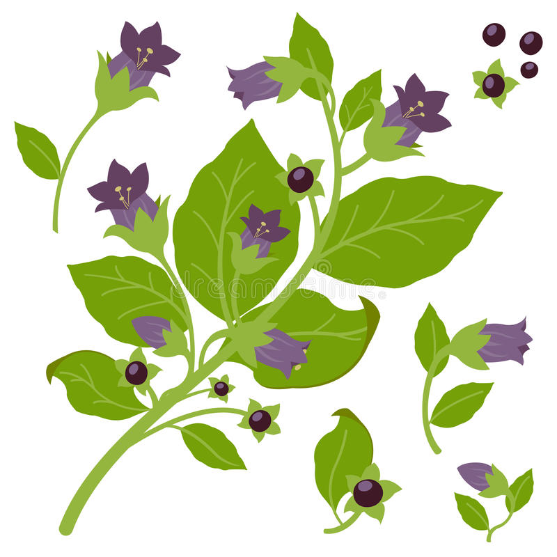 Belladonna plant stock illustration