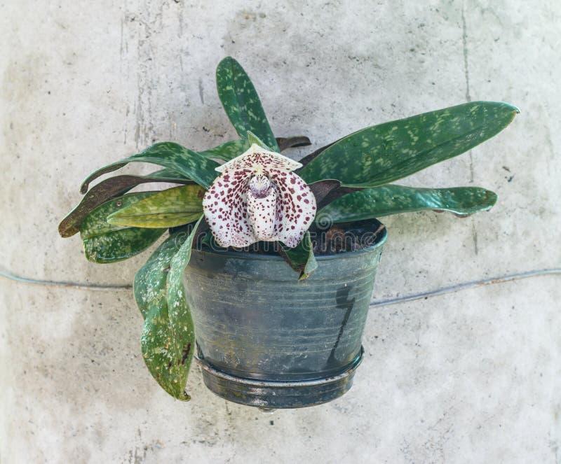 Bellatulum de Paphiopedilum - fleur de pantoufle de dame photographie stock