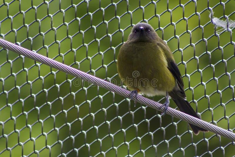 Bellbird или Korimako Новой Зеландии в плене стоковые фотографии rf