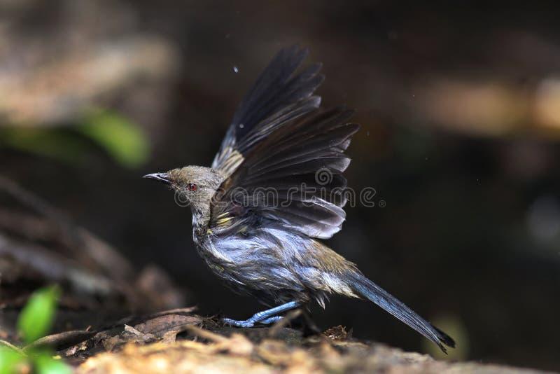 bellbird Новая Зеландия стоковые фотографии rf