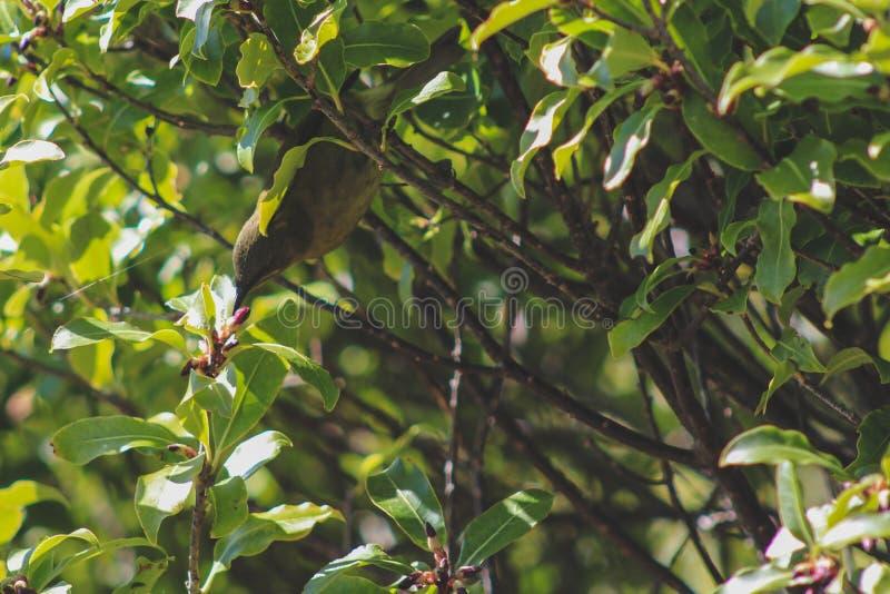 Bellbird Новой Зеландии на омеле озера в Southland, южном острове, Новой Зеландии стоковые изображения rf