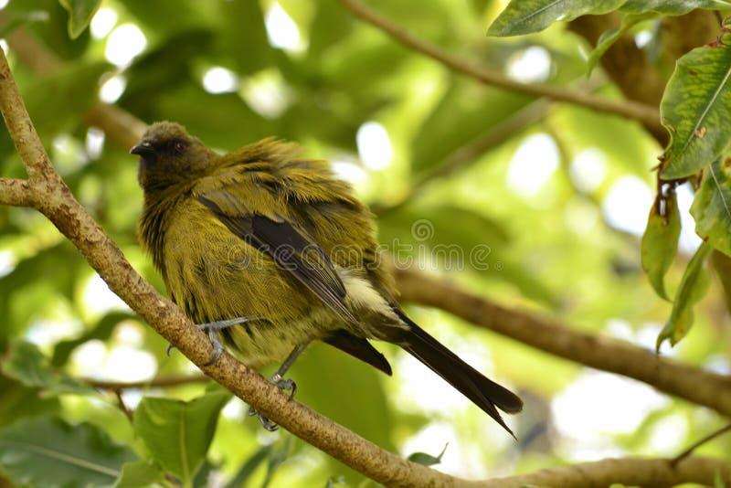 Bellbird птицы Новой Зеландии уникальный эндемичный стоковые фото