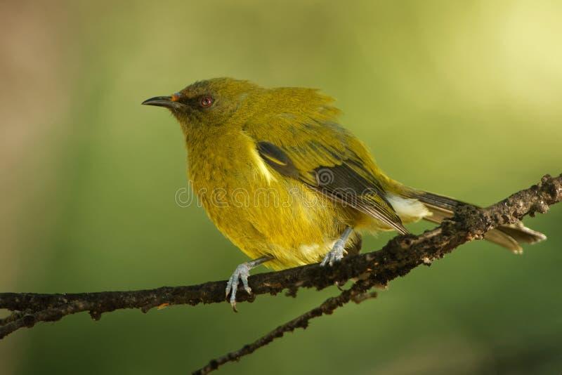 Bellbird - Anthornis melanura - makomako i maorispråk, endemiskfågel - honeyeater från Nya Zeeland i den gröna skogen arkivbilder