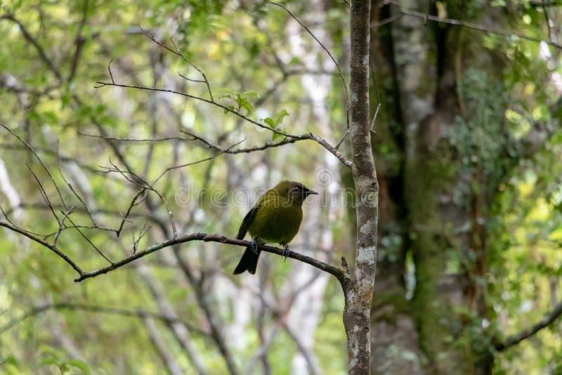 Bellbird de Nueva Zelanda del varón fotografía de archivo