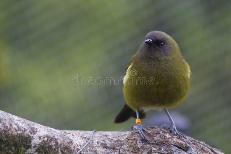 Bellbird of Korimako royalty-vrije stock afbeeldingen
