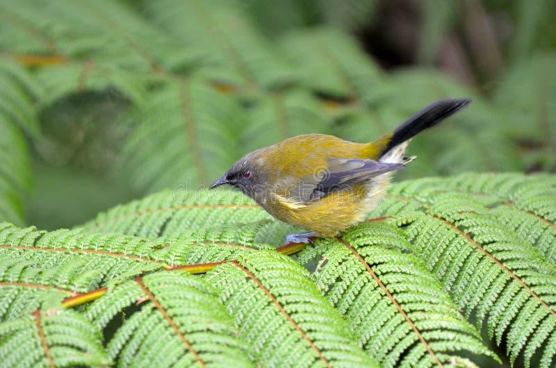 Bellbird (Korimako) стоковые фото