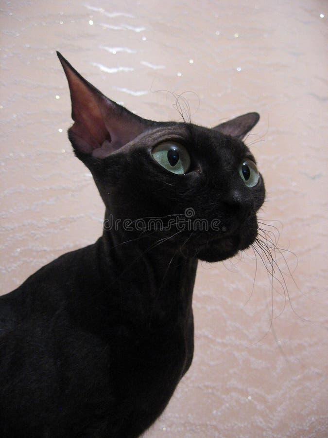 Belle, élégante, noire tête de profil de chien de chat d'animal familier photos libres de droits