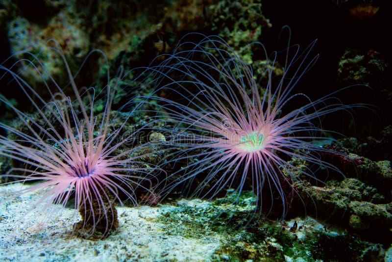 Belle anémone sous-marine de cerianthus sur le fond océanique images libres de droits