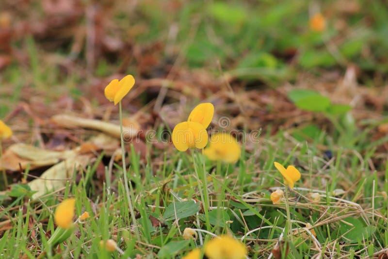 Belle arachide jaune de pinto fraîche en nature photo stock