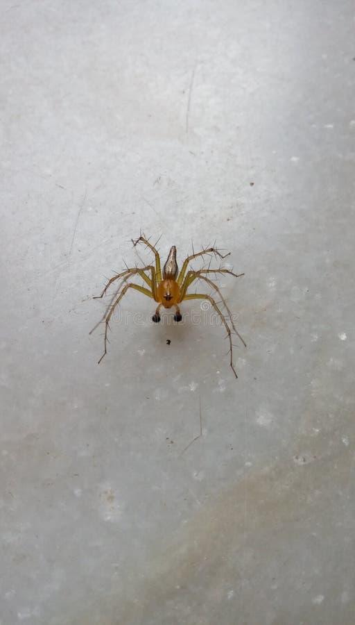 Belle araignée de regard image libre de droits
