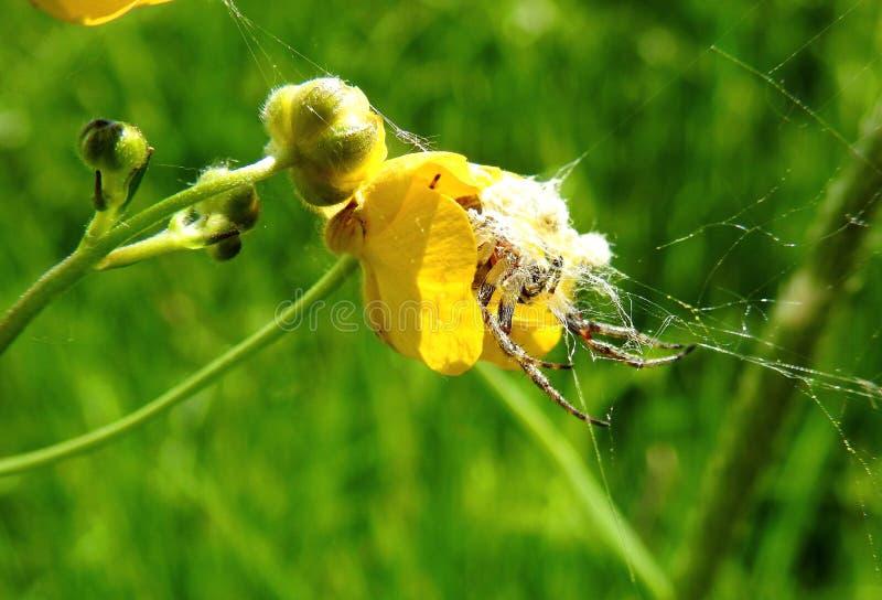 Belle araignée en fleur jaune, Lithuanie images libres de droits