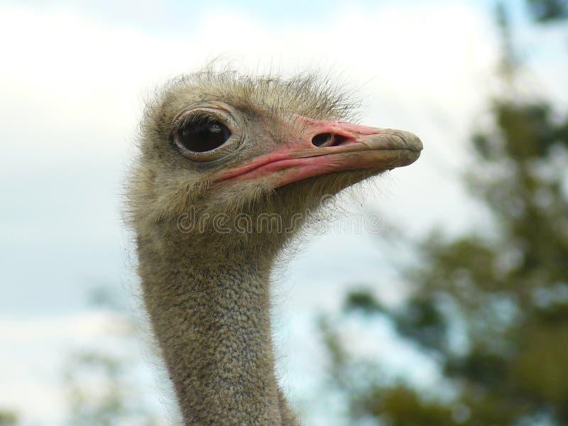 Belle autruche avec de grands yeux image stock