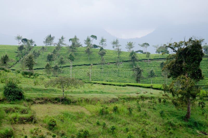 Belle azienda agricola e montagna del tè immagini stock libere da diritti