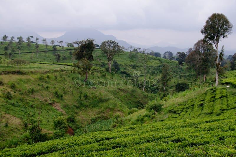 Belle azienda agricola e montagna del tè fotografie stock