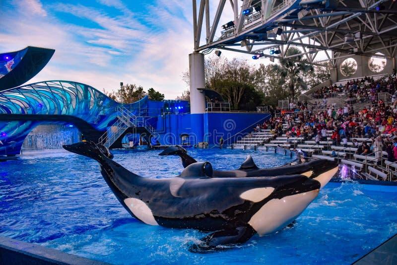 Belle balene che posano davanti al pubblico in una manifestazione dell'oceano a Seaworld nell'area internazionale 1 dell'azioname fotografia stock