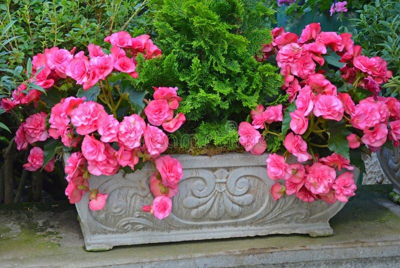 Belle begonie rosa immagine stock