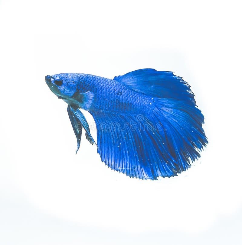 Belle Betta Fish bleue dans le réservoir photo libre de droits