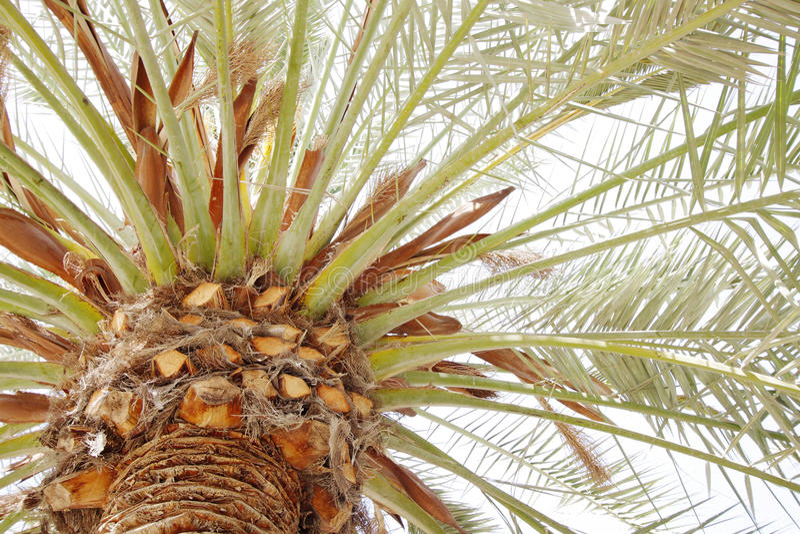Belle branche avec des spathes dans des palmiers d'une date photographie stock libre de droits