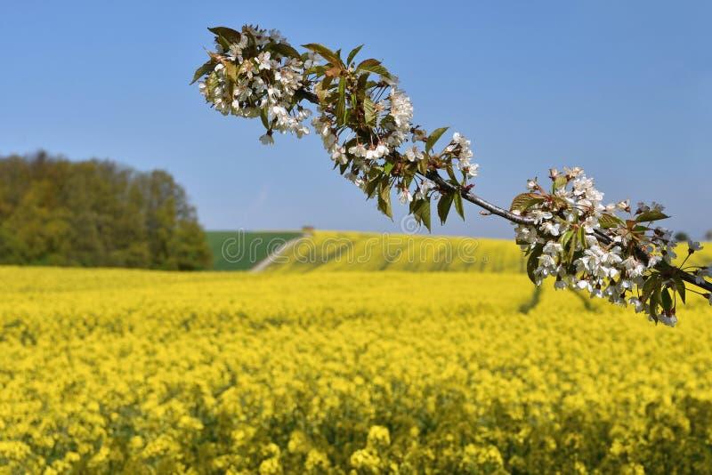belle branche de floraison d 39 arbre fruitier champs fleurissants jaunes route moulue et belle. Black Bedroom Furniture Sets. Home Design Ideas