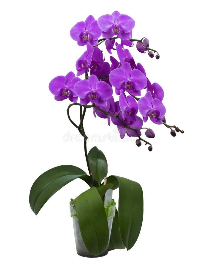 Belle branche de l'orchidée rose de floraison images libres de droits