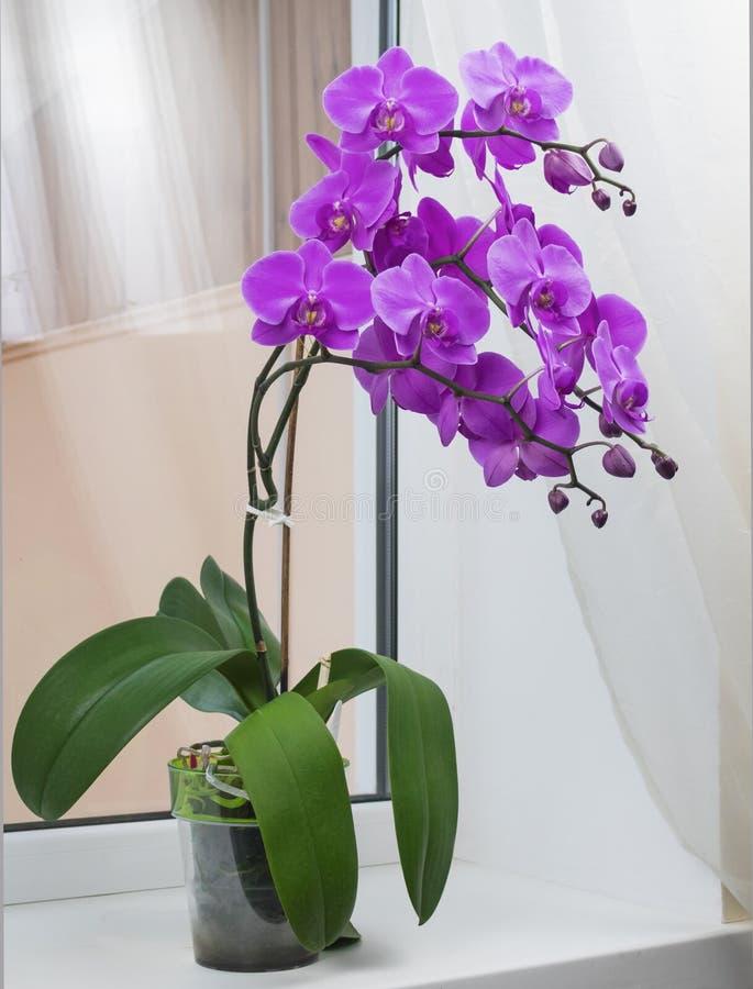 Belle branche de l'orchidée rose de floraison photos libres de droits