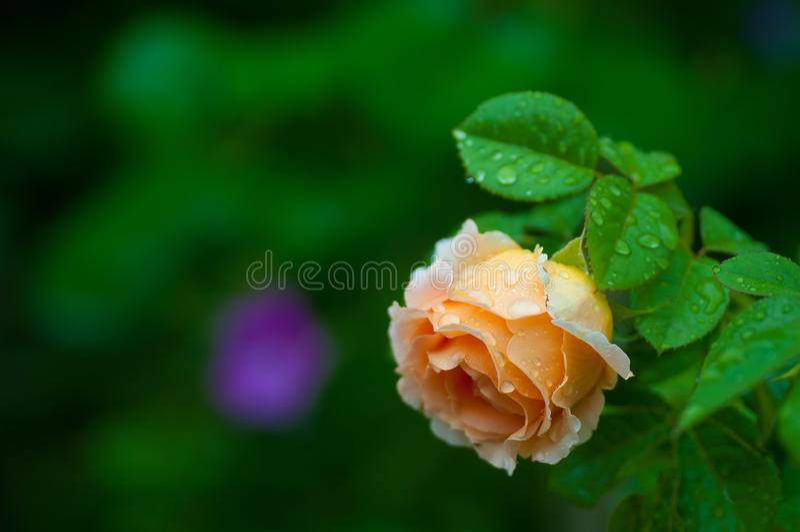 Belle branche et fleur rose ambrine avec des gouttes de pluie photos libres de droits
