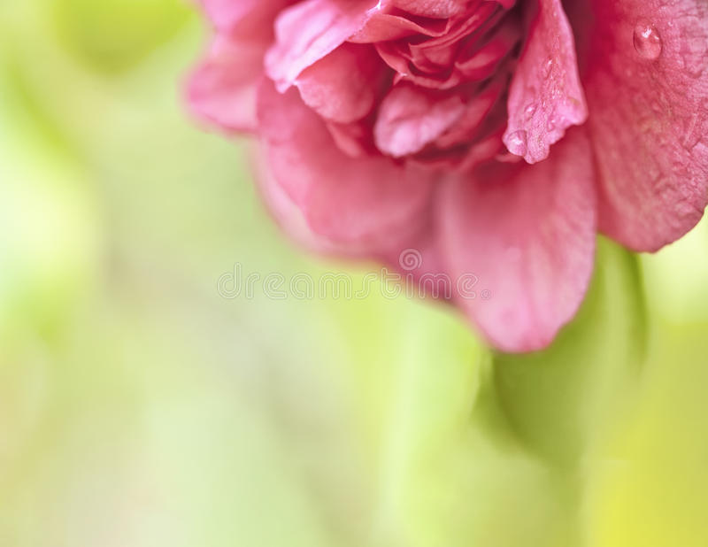 Belle Camellia Macro image stock