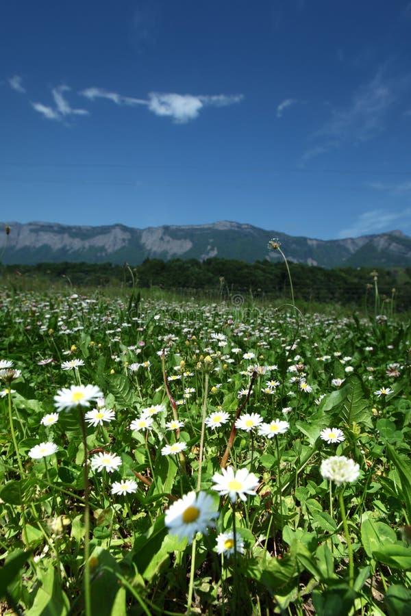 Belle camomille dans les Alpes photographie stock