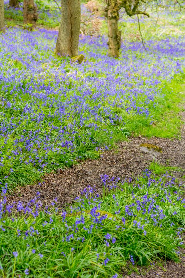 Belle campanule nella foresta della Scozia immagini stock