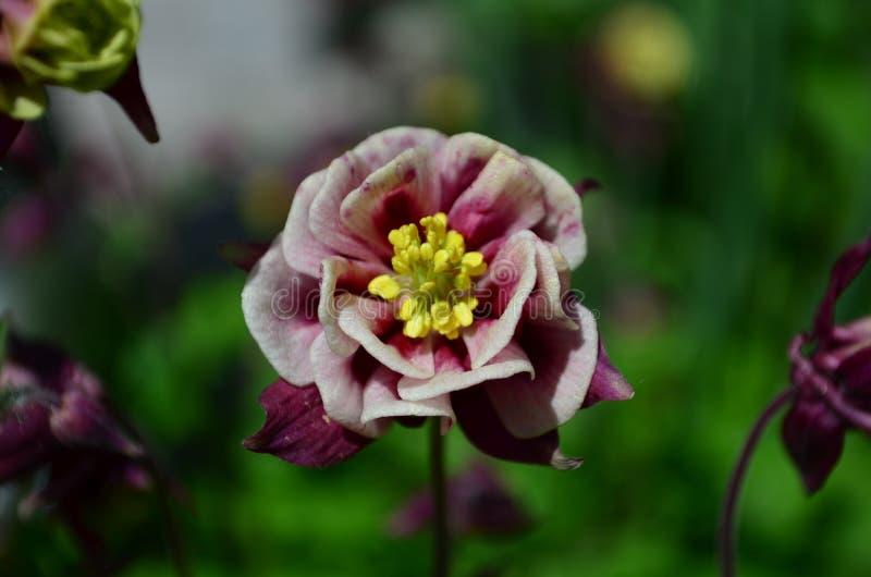 Belle captation rose de fleur sur un fond vert photographie stock