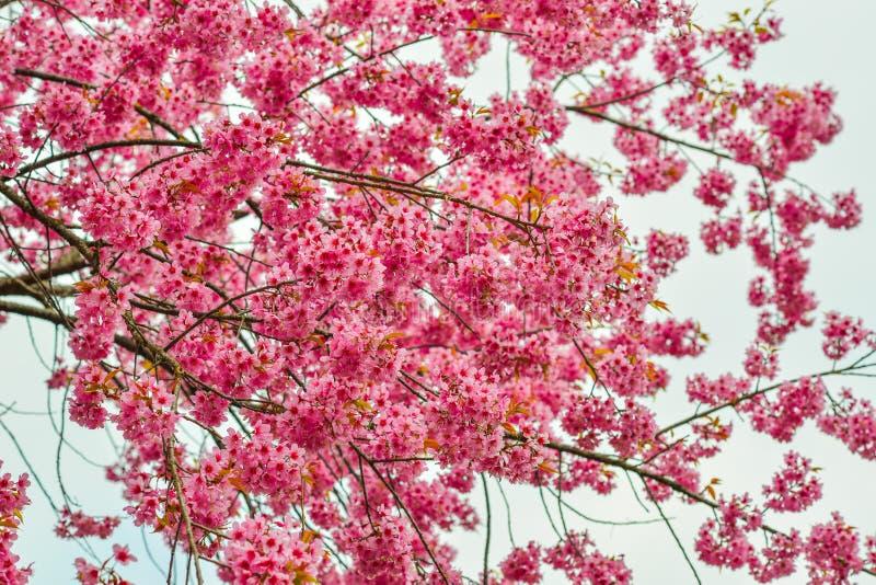 Belle cerise ou fleur de Sakura photo stock
