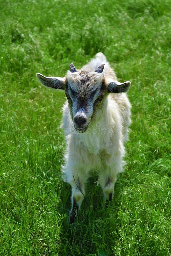 Belle chèvre photographie stock libre de droits
