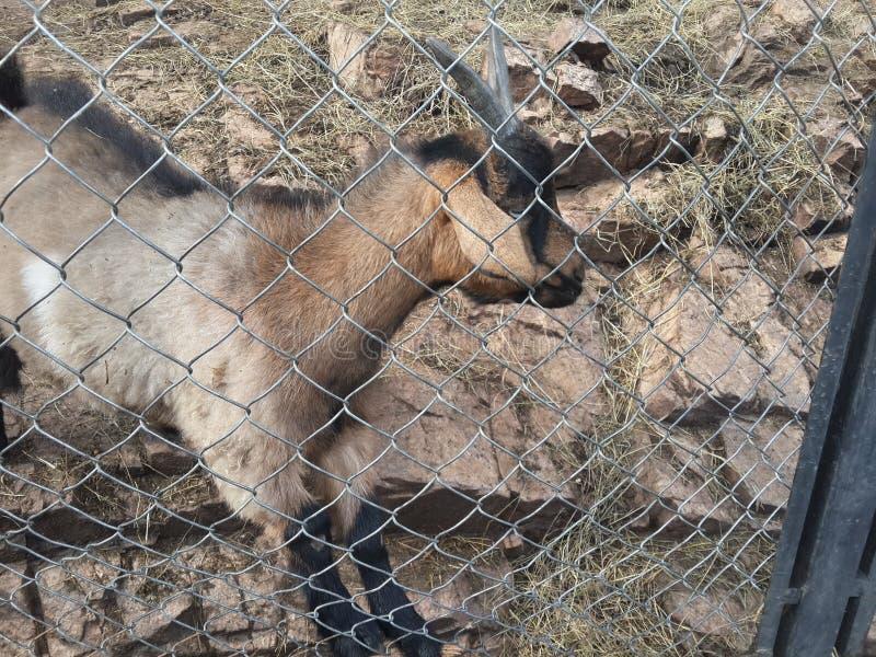 Belle chèvre dehors derrière les barres dans le foto de jardin zoologique image libre de droits