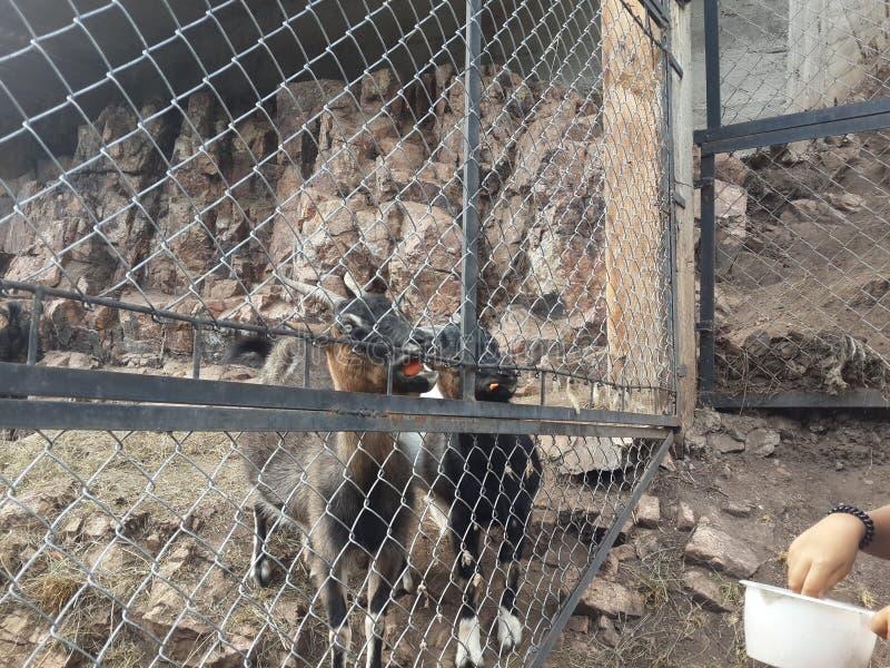 Belle chèvre dehors derrière les barres dans le foto de jardin zoologique images libres de droits