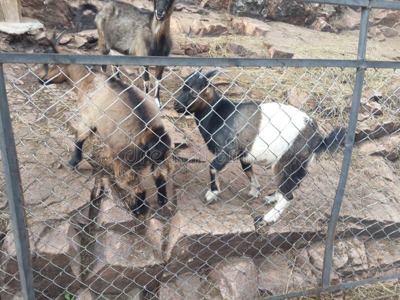 Belle chèvre dehors derrière les barres dans le jardin zoologique images libres de droits
