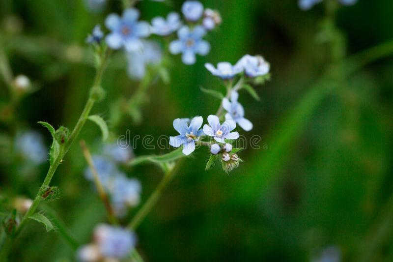 Belle clairière de floraison des fleurs bleues Fleurs bleues de floraison dans l'herbe verte photographie stock