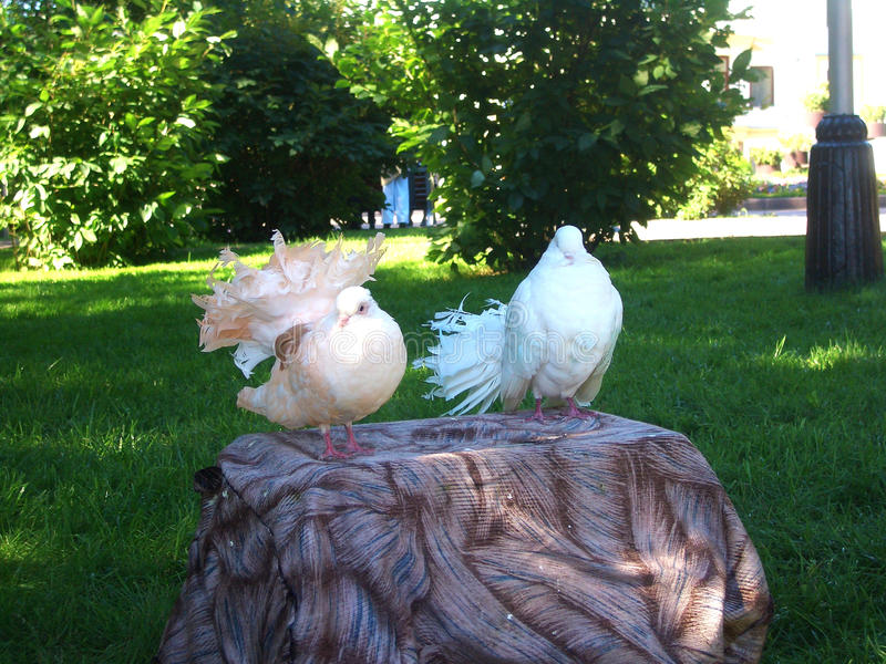 Belle colombe photos stock