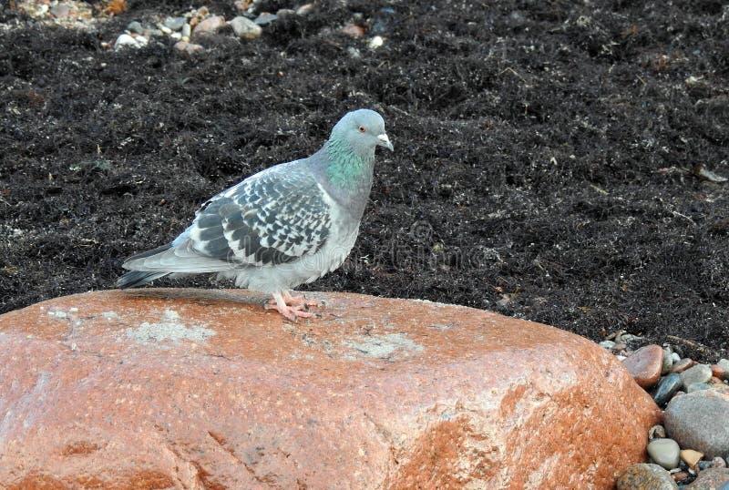 Belle colombe sur la grande pierre, Lithuanie photographie stock