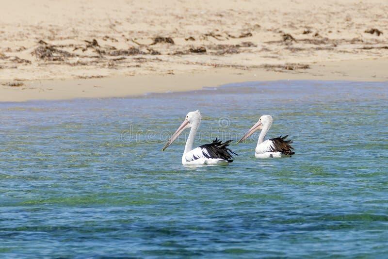 Belle coppie i pellicani vicino alla spiaggia sabbiosa di Rockingham, Australia occidentale fotografie stock
