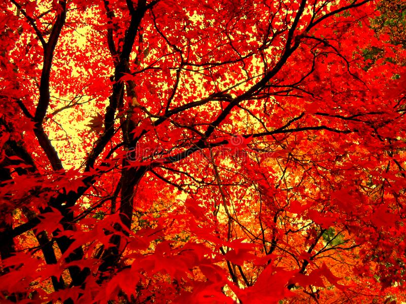 Belle couleur d'automne des feuilles d'érable photographie stock
